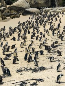 Penguins, South Africa