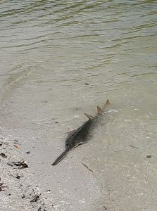 Adventures in Paradise Sawfish