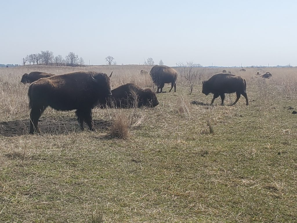 Cernys Journeys: Kankakee Sands - Bison